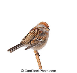 American tree sparrow perching on dry weed, isolated on white. Latin name - Spizella arborea.