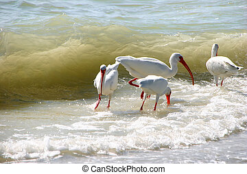 American White Ibis feeding ocean waves Sanibel Florida