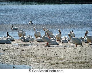 American White Pelican Ding Darling Wildlife Refuge Sanibel ...