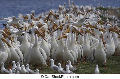 American White Pelican (Pelecanus erythrorhynchos) Flock -...