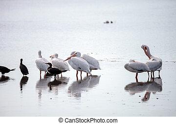 American white pelican Pelecanus erythrorhynchos in a marsh...