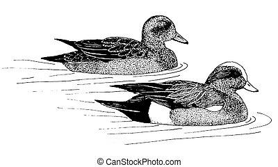 American Wigeon - Anas americana - pair