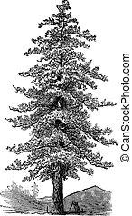 American yellow pine (Pinus ponderosa) or Ponderosa Pine or Bull Pine or Blackjack Pine or Western Yellow Pine, vintage engraved illustration. Trousset encyclopedia (1886 - 1891).