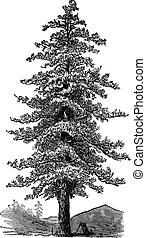 American yellow pine (Pinus ponderosa) or Ponderosa Pine, vintage engraving.
