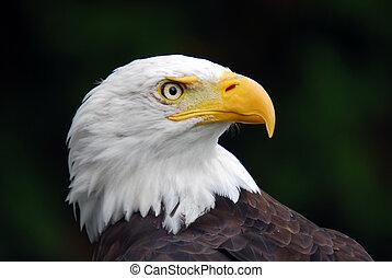 americano, águia calva, (haliaeetus, leucocephalus)