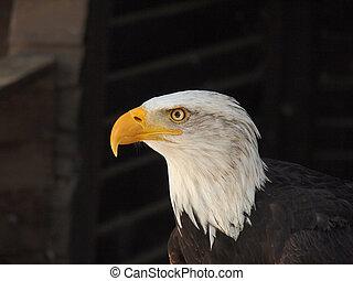 americano, arrojado, águia
