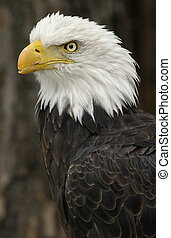americano, arrojado, águia, (haliaeetus, leucocephalus)