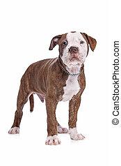 americano, bulldog, davanti, uno, sfondo bianco
