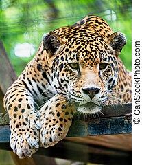 americano, giaguaro, sud