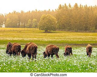 americano, prado verde, bisons, rebanho