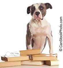 amerikaan, boek, terrier, staffordshire, lezende