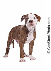 amerikaan, bulldog, voor, een, witte achtergrond