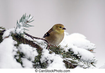 amerikaan, goldfinch, tonen