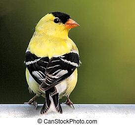 amerikaan, mannelijke , goldfinch