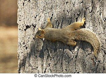 amerikaan, noorden, squirrel