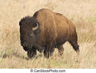 amerikan, buffalo.