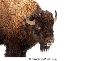 amerikan, buffel