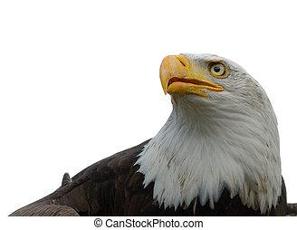 amerikan, flintskallig örn
