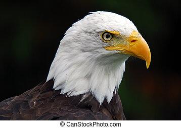 amerikan, flintskallig örn, (haliaeetus, leucocephalus)