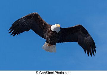 amerikan, flintskallig örn, i flykt