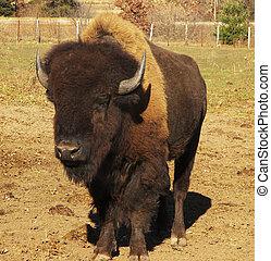 amerikaner, bøffel