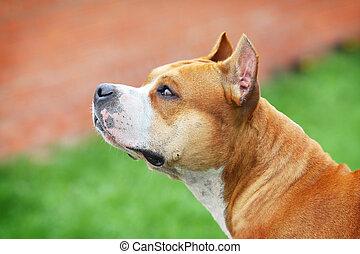 amerikanische , terrier, staffordshire