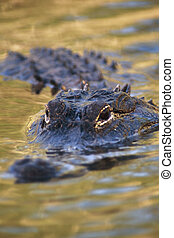amerikanischer alligator