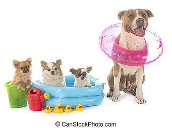 amerikanischer staffordshire terrier, und, chihuahua