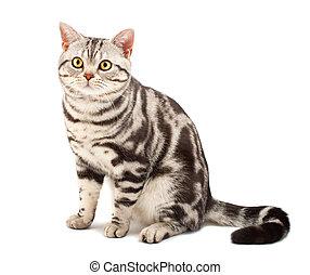 amerikansk shorthair katt