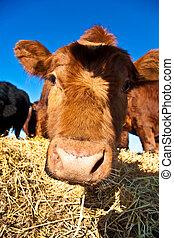 amichevole, bestiame, su, paglia, con, cielo blu