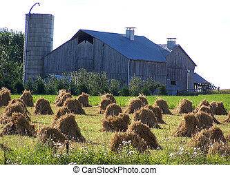 Amish Harvest - Amish field at harvest