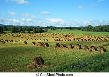 Amish Hay Stacks - Amish hay field in Western New York.