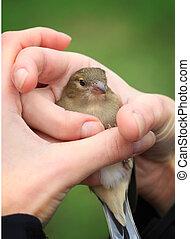 amistoso, manos, pájaro, diminuto