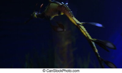 A decorative sea horse (Sea Dragon) swimming under water