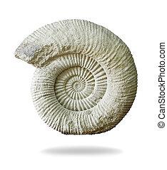 ammonite, arrière-plan., blanc, préhistorique, fossile