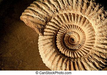 ammonite, fond