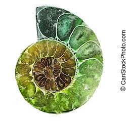 ammonite, primo piano, fossile