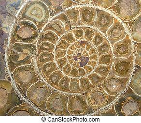 ammonite, sección, cruz, fósil