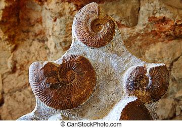 Ammonites fossil in Valencian Community Spain