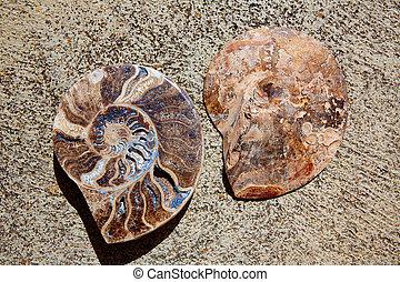 Ammonites fossil snail cut found in Teruel