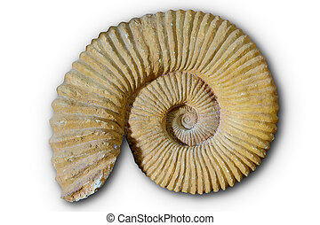 ammonites, valencian, fósil, comunidad, españa