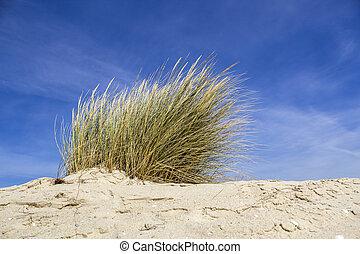 ammophila, jména, marram, beachgrass., arenaria, obyčejný, ...