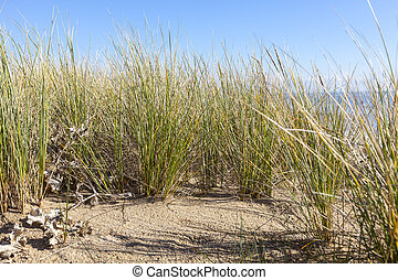 Ammophila - Specific Grass on Sand Dunes