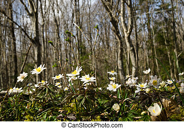 Among anemonesin the forest