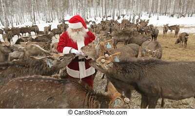Amongst deer - Santa standing amongst hungry deer and...