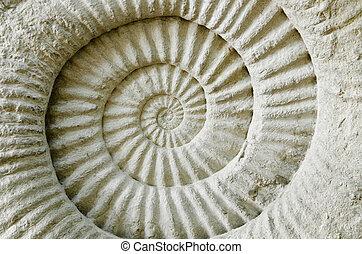 amonite, fossil., pré-histórico