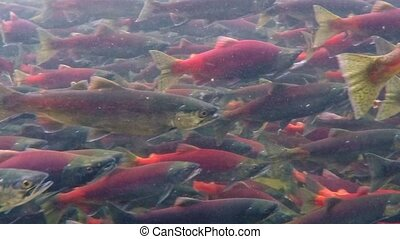 amont, saumon, ruisseau, kokanee, engendrer