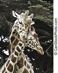 amor, girafas