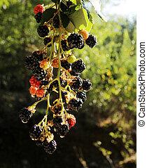 amora preta, -, fruta