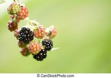 amora preta, planta